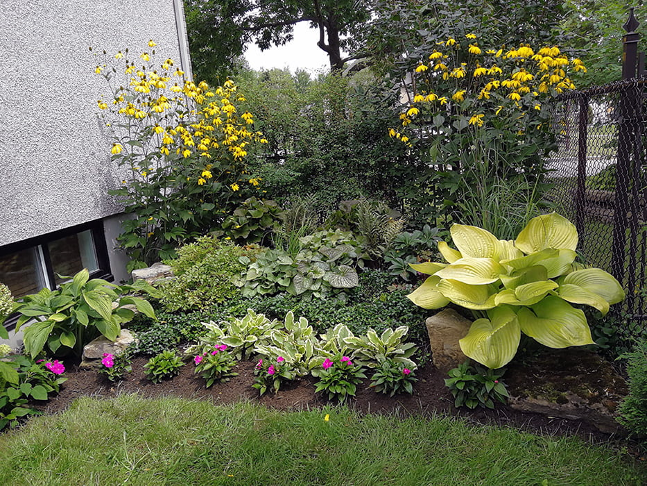 Hosta 'Sum and Substance' et rudbeckies nitida dans une plate-bande à la mi-ombre
